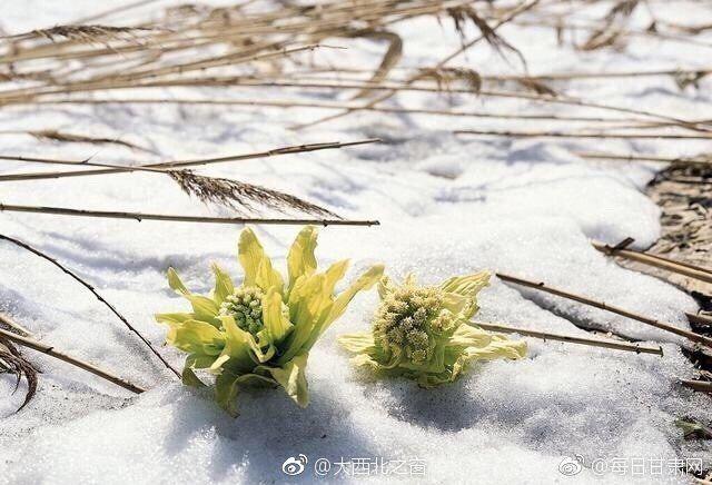 Image result for Tuyết liên – Loài hoa cực hiếm đẹp hút hồn trên dãy Himalaya