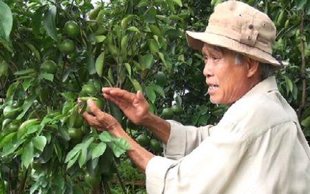 Nha vuon Lai Vung thanh cong voi mo hinh quyt kieng - Anh 1