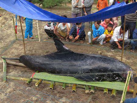 Quang Ngai: Phat hien ca voi nang khoang 300kg dat vao bo bien - Anh 1