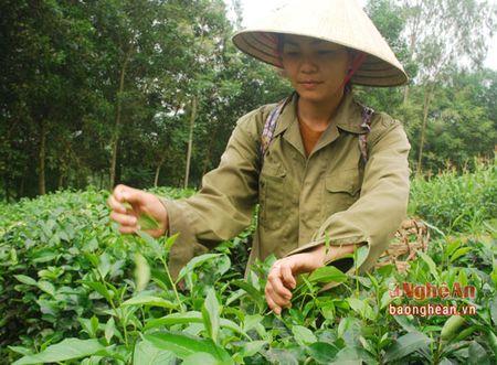 Thanh Chuong thu hai tren 55 nghin tan che - Anh 2