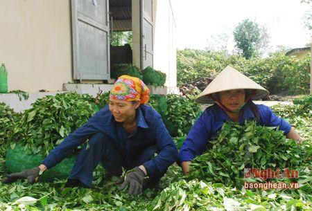 Thanh Chuong thu hai tren 55 nghin tan che - Anh 4