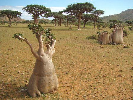 Kham pha Socotra - Hon dao duoc vi nhu hanh tinh khac tren trai dat - Anh 14