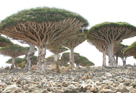 Kham pha Socotra - Hon dao duoc vi nhu hanh tinh khac tren trai dat - Anh 1