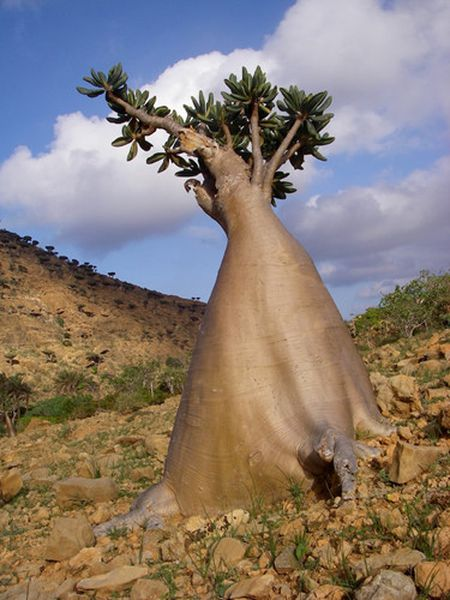 Kham pha Socotra - Hon dao duoc vi nhu hanh tinh khac tren trai dat - Anh 2