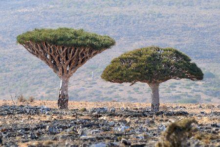 Kham pha Socotra - Hon dao duoc vi nhu hanh tinh khac tren trai dat - Anh 6