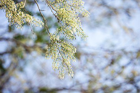 Hoa sua dep tinh khoi no trang troi Ha Noi goi thang 3 ve - Anh 11