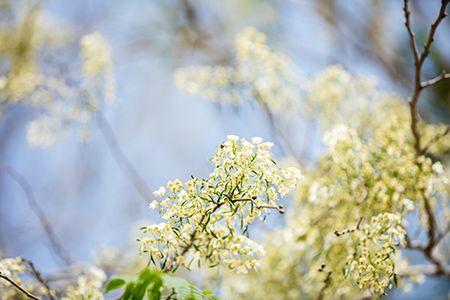 Hoa sua dep tinh khoi no trang troi Ha Noi goi thang 3 ve - Anh 12