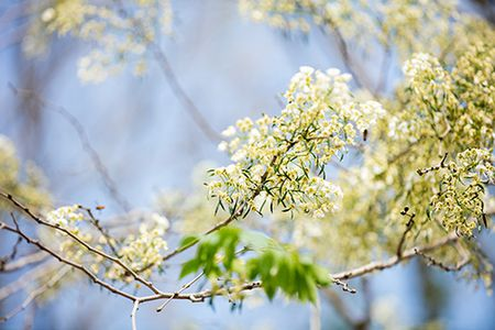 Hoa sua dep tinh khoi no trang troi Ha Noi goi thang 3 ve - Anh 13