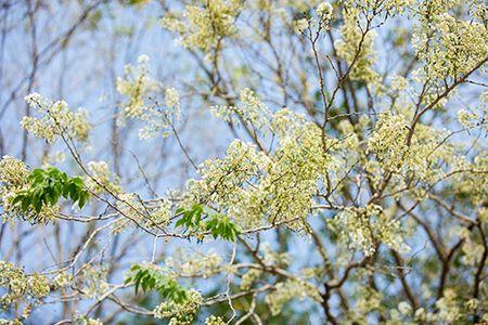 Hoa sua dep tinh khoi no trang troi Ha Noi goi thang 3 ve - Anh 14