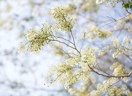 Hoa sua dep tinh khoi no trang troi Ha Noi goi thang 3 ve - Anh 15