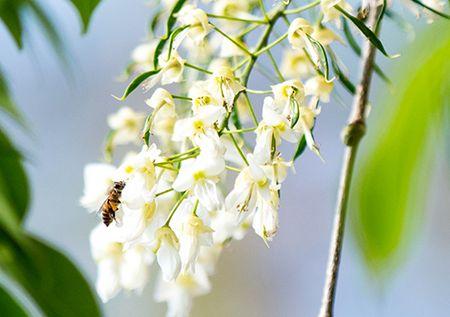Hoa sua dep tinh khoi no trang troi Ha Noi goi thang 3 ve - Anh 18