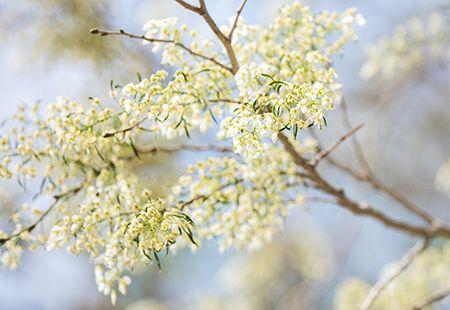 Hoa sua dep tinh khoi no trang troi Ha Noi goi thang 3 ve - Anh 19