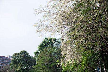 Hoa sua dep tinh khoi no trang troi Ha Noi goi thang 3 ve - Anh 2
