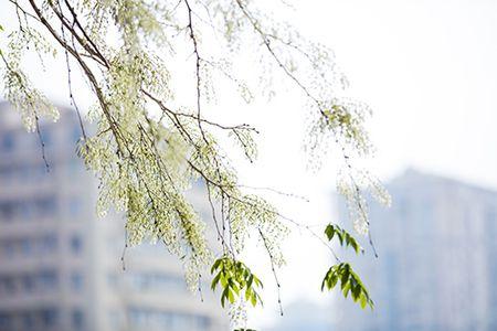 Hoa sua dep tinh khoi no trang troi Ha Noi goi thang 3 ve - Anh 4