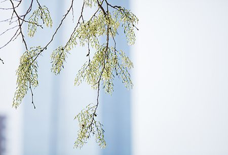 Hoa sua dep tinh khoi no trang troi Ha Noi goi thang 3 ve - Anh 5