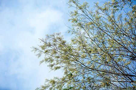 Hoa sua dep tinh khoi no trang troi Ha Noi goi thang 3 ve - Anh 7