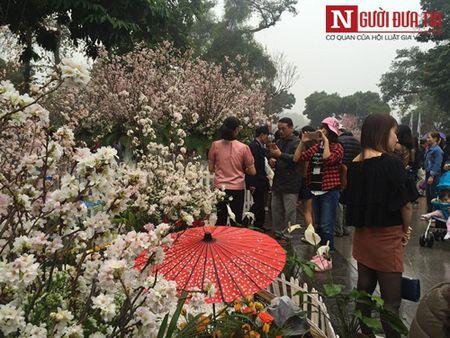Le hoi Hoa anh dao 2017: Nong giua troi mua ret - Anh 5