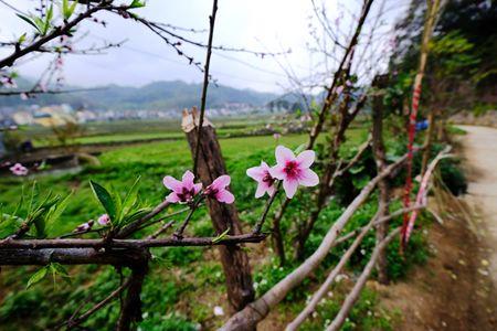 Dep ngo ngang hoa dao don Xuan muon tren cao nguyen da Dong Van - Anh 1