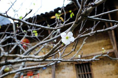 Dep ngo ngang hoa dao don Xuan muon tren cao nguyen da Dong Van - Anh 5
