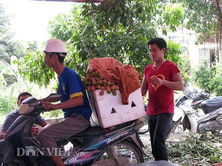 Ron tieng cuoi boi thu nguoi dan thu hoach vai chin som - Anh 2