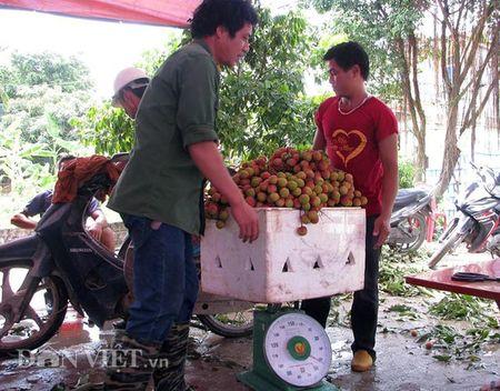 Ron tieng cuoi boi thu nguoi dan thu hoach vai chin som - Anh 3