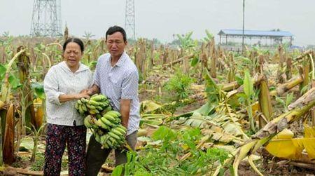Tro lai vu 3.000 cay chuoi bi 'chem guc' o Hai Phong - Anh 1