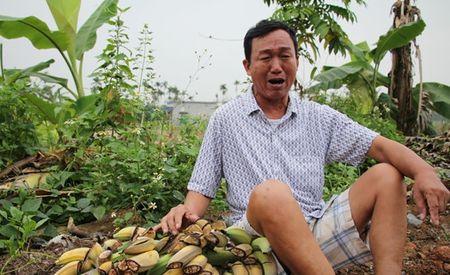 Hang nghin cay chuoi bi pha tai Hai Phong: Xem xet khoi to neu du dieu kien - Anh 1