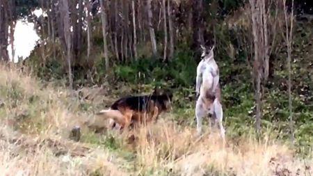 Video cuoc doi dau nay lua giua kangaroo voi cho bec-gie Duc - Anh 1