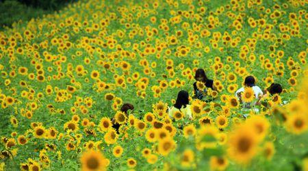 Du khach un un keo den lang hoa huong duong dep sung so o Han Quoc - Anh 1