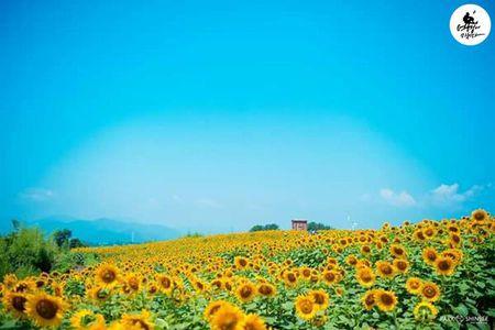 Du khach un un keo den lang hoa huong duong dep sung so o Han Quoc - Anh 4