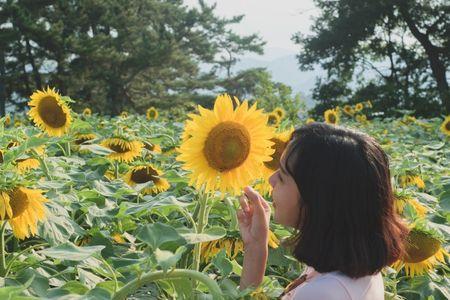 Du khach un un keo den lang hoa huong duong dep sung so o Han Quoc - Anh 5