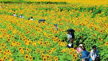 Du khach un un keo den lang hoa huong duong dep sung so o Han Quoc - Anh 6
