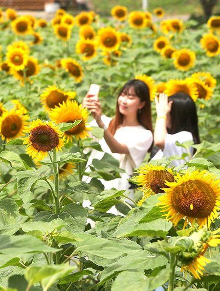 Du khach un un keo den lang hoa huong duong dep sung so o Han Quoc - Anh 9