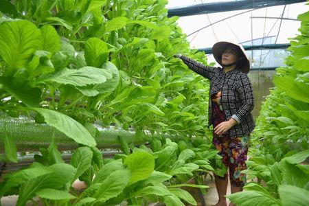 Nguoi dau tien trong rau thuy canh o Phu Quoc - Anh 4