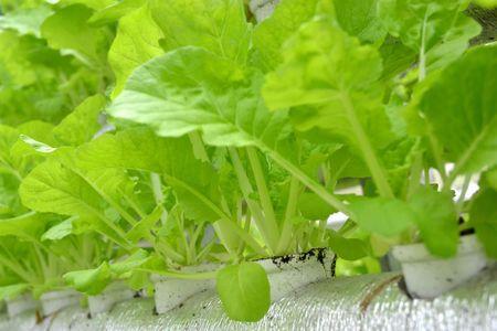 Nguoi dau tien trong rau thuy canh o Phu Quoc - Anh 5