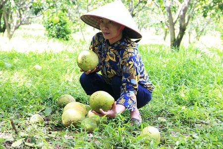Bao so 10 tan pha 400 ha buoi Phuc Trach, thiet hai hang ti dong - Anh 2