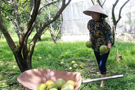 Bao so 10 tan pha 400 ha buoi Phuc Trach, thiet hai hang ti dong - Anh 4