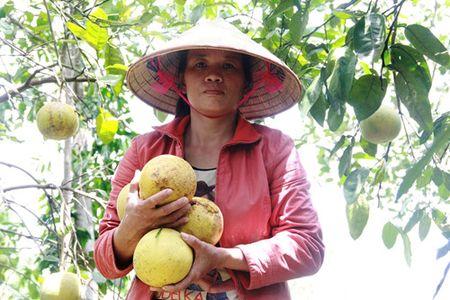Bao so 10 tan pha 400 ha buoi Phuc Trach, thiet hai hang ti dong - Anh 5