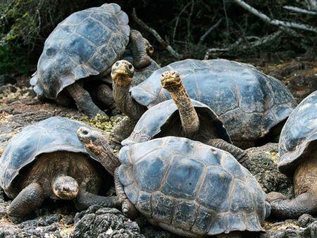 Khoi phuc thanh cong rua khong lo da tuyet chung tren dao Galapagos - Anh 2