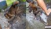 Mưa lớn ngập hang chó mẹ chạy về cứu 3 chó con thoát nạn