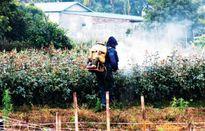Tràn lan hoa tết 'ngậm' thuốc trừ sâu