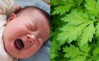'Đánh bay' chứng nghẹt mũi, khò khè ở trẻ nhỏ cực đơn giản nhờ ngải cứu