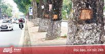 Công an điều tra hàng loạt cây xà cừ bị đục khoét trên phố Hà Nội