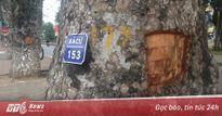 Thực hư thông tin đẽo vỏ xà cừ ở Hà Nội để chữa bệnh