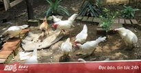 Đàn gà rừng đột biến gen trị giá hơn nửa tỷ đồng ở Khánh Hòa
