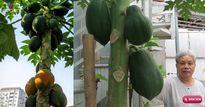 Lão Nông Phố mách cách trồng đu đủ trong chậu và thùng xốp sai quả