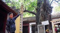 Kỳ lạ cây thị gần 600 tuổi phát ra tiếng động lúc nửa đêm