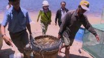 Giải pháp nào 'cứu' tôm hùm chết hàng loạt ở Phú Yên?