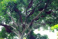 Kỳ lạ 'cây tổ ong' khổng lồ của người dân tộc Thái ở Điện Biên