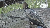 Bẫy được chim cổ rắn quý hiếm, bàn giao cho Thảo Cầm Viên